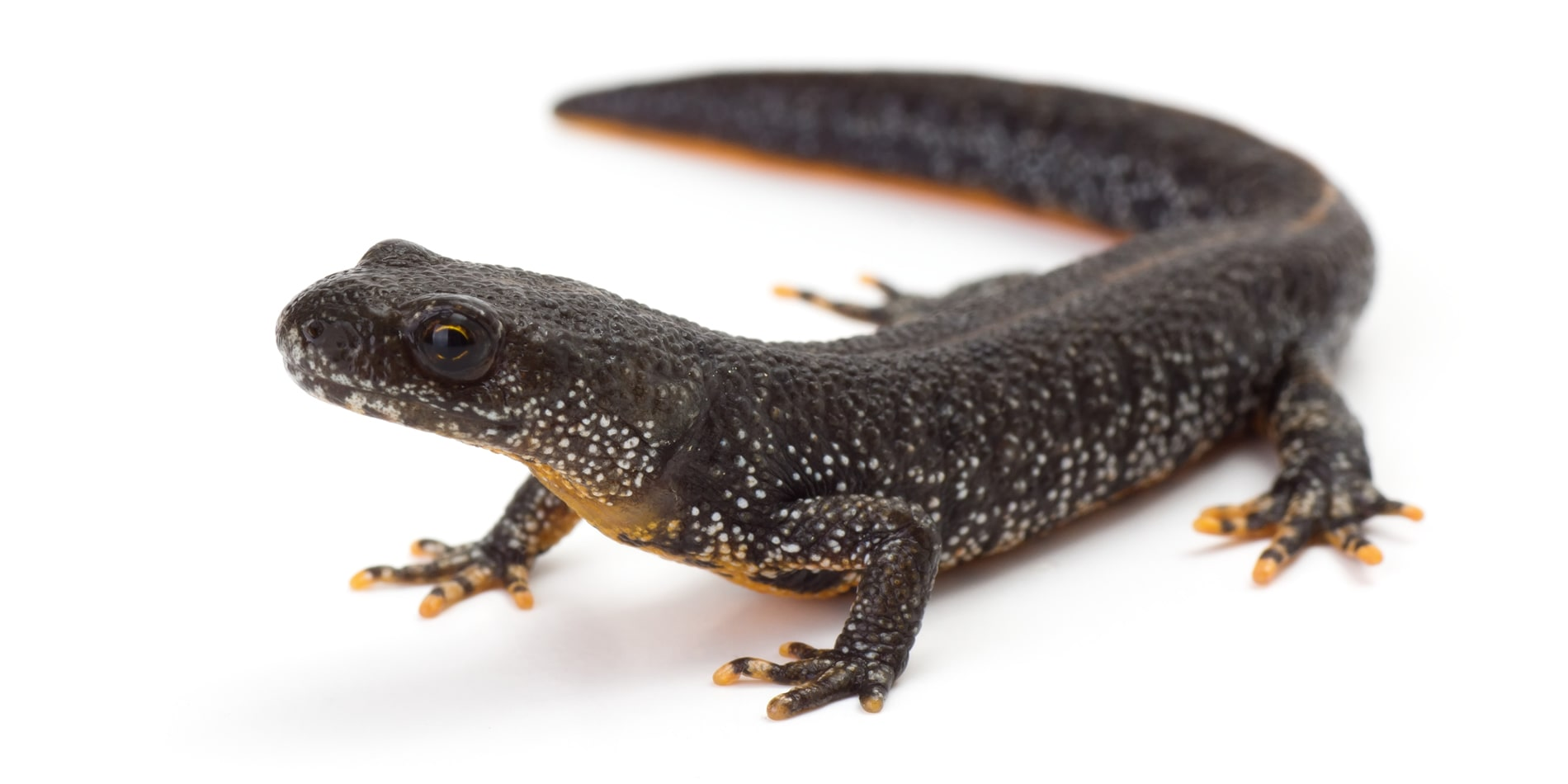 eDNA Great Crested Newt